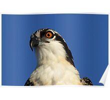 Juvenile osprey profile Poster
