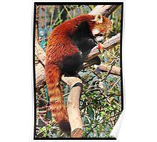 Red Panda eating red apple Poster