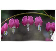 Macro Bleeding Heart Flowers Poster