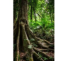 Daintree Rainforest - Mossman Gorge V Photographic Print