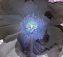 Black Peony by David Schroeder