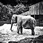 Anne the Elephant by CHINOIMAGES