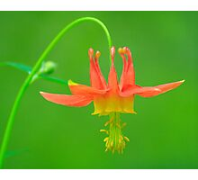 Columbine in the Rainforest of the Oregon Cascade Range Photographic Print