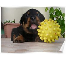 Tiny Rottweiler Puppy Playing With Large Toy Ball Poster