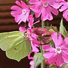 Brimstone & Campion by dilouise