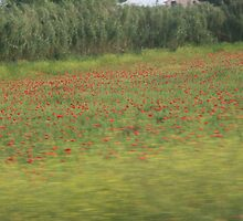 Poppies in Tuscany by athinaf