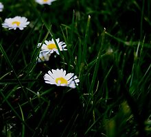Green daisies by CeiraCrainer