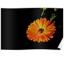 Orange Gerbera Flower Poster