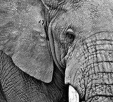 African Elephant (Loxodonta africana) Kenya by Samuel Ridge
