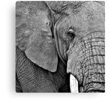 African Elephant (Loxodonta africana) Kenya Canvas Print