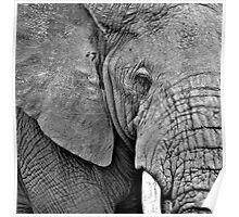 African Elephant (Loxodonta africana) Kenya Poster