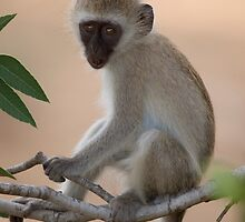 Vervet monkey by Samuel Ridge