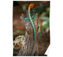 Red-headed Agama Lizard Poster