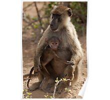 Baboon (Papiocynocephalus anubis) Poster