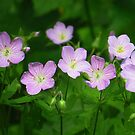 More Wild Geraniums by lorilee