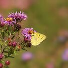 Cabbage White on Purple Asters by KatMagic Photography
