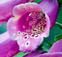 Foxglove Trail To Pollination by Gene Walls