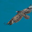 Turkey Vulture in Flight by (Tallow) Dave  Van de Laar