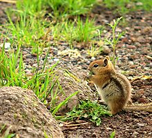 Mountain Chipmunk by K D Graves Photography