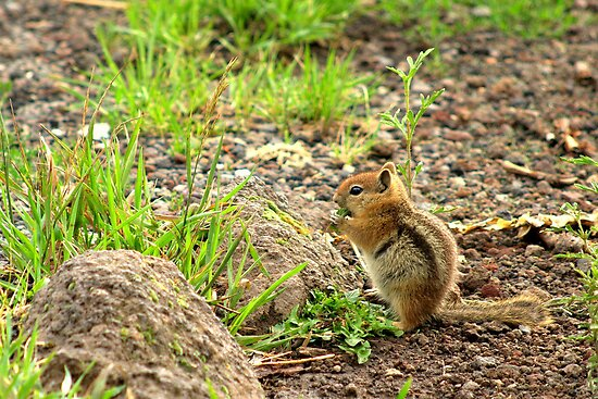 Mountain Chipmunk by Diana Graves Photography