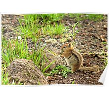 Mountain Chipmunk Poster