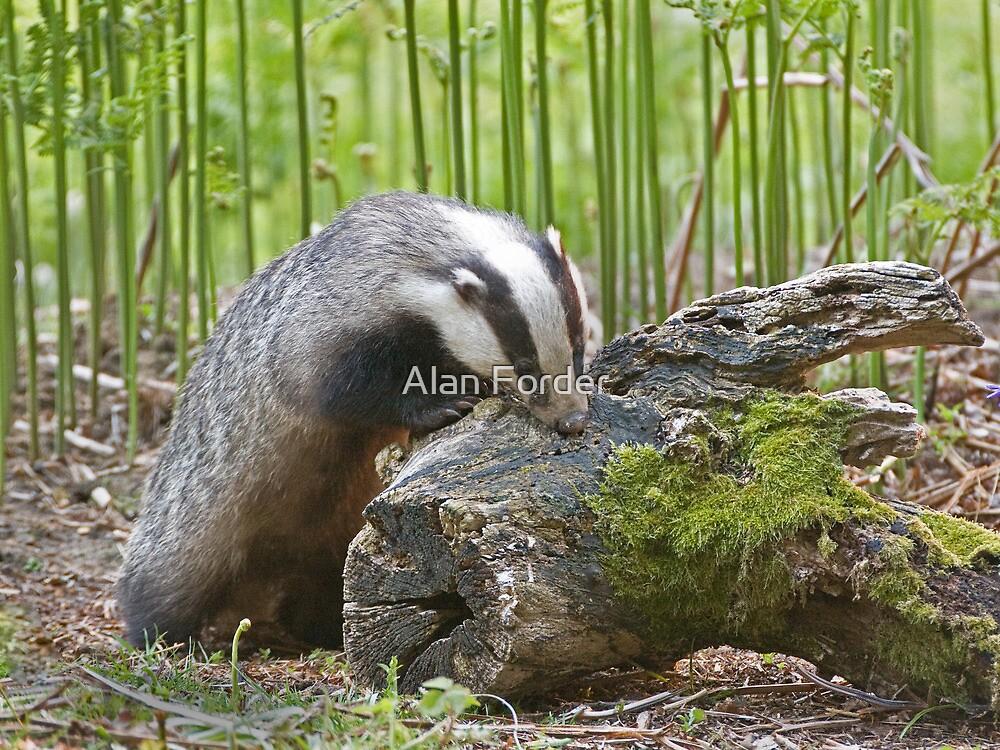 Badger 5 by Alan Forder