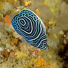 Juvenile Emperor Angelfish - Pomacanthus imperator by Andrew Trevor-Jones