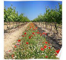 Wine growing at spring time Poster