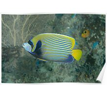 Emperor Angelfish - Pomacanthus imperator Poster