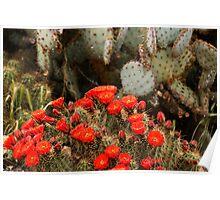 Cactus In Full Bloom Poster