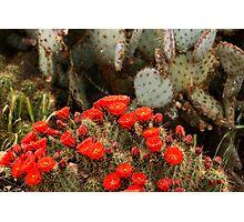 Cactus In Full Bloom Photographic Print