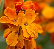 Macro Orange Flowers by Pixie Copley LRPS