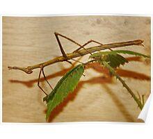 Horsehead Grasshopper Poster