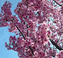 Blossoms up Close 4 by TinyHat