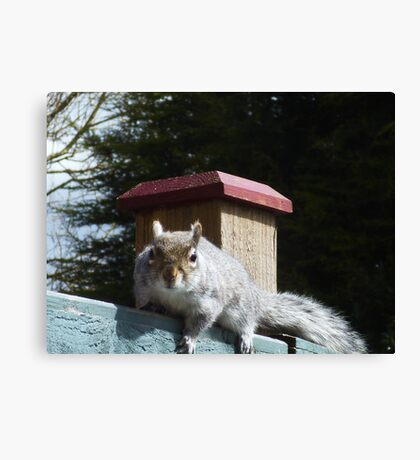 SQUIRREL SEARCHING FOR NUTS Canvas Print