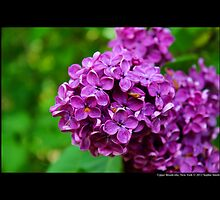 Syringa Vulgaris Congo - Common Lilac - Upper Brookville, New York by © Sophie Smith