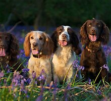 Cocker Spaniels in an English Bluebell Wood by bobsfotos