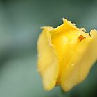 Flower in rain by UpNorthPhoto