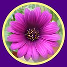 African Daisy by ©The Creative  Minds