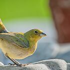 Female Painted Bunting in Alert Stance by Bonnie T.  Barry