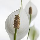 Peace Lily by partridge