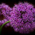 Allium Giganteum by karina5