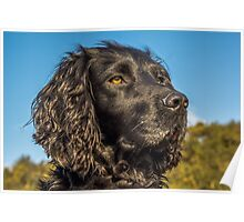 Animal, Dog, Cocker Spaniel, Black Poster