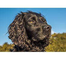 Animal, Dog, Cocker Spaniel, Black Photographic Print