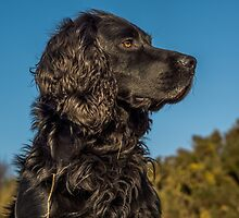 Animal, Dog, Cocker Spaniel, Black by Hugh McKean