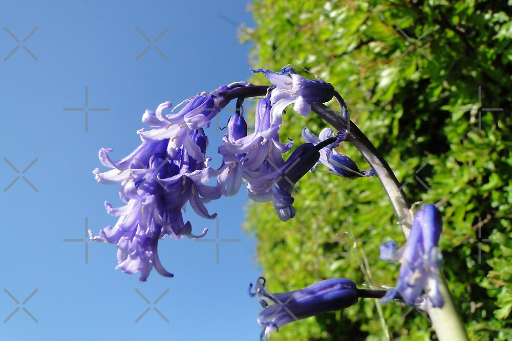 Look up - Blue Skies, Bluebells by Barrie Woodward