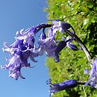 Look up - Blue Skies, Bluebells by AH64D