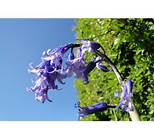 Look up - Blue Skies, Bluebells Photographic Print