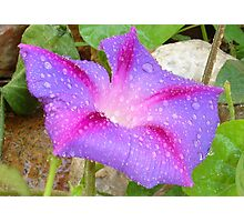 Mauve and Magenta Morning Glory with Water Drops Photographic Print