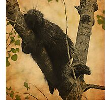 Porcupine Photographic Print